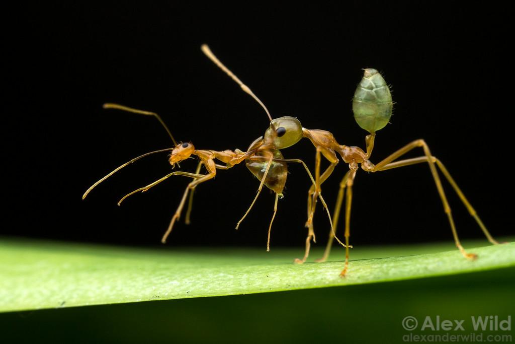 Как муравьи используют своих «рабов»