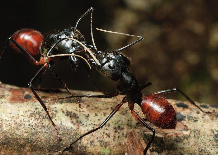 Самые большие муравьи в мире - 24сми