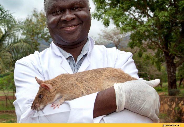 Гамбийская крыса: содержание, описание, сколько живет