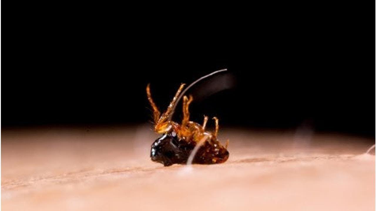 Как бороться с блохами в квартире в домашних условиях: эффективные средства и общие правила уничтожения насекомых