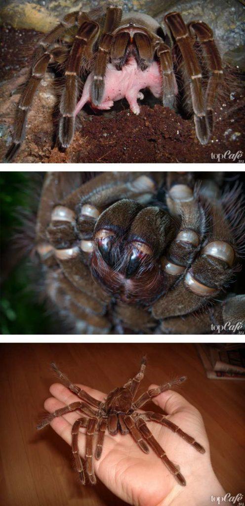 Птицеед-голиаф, или терафоза блонда | мир животных и растений