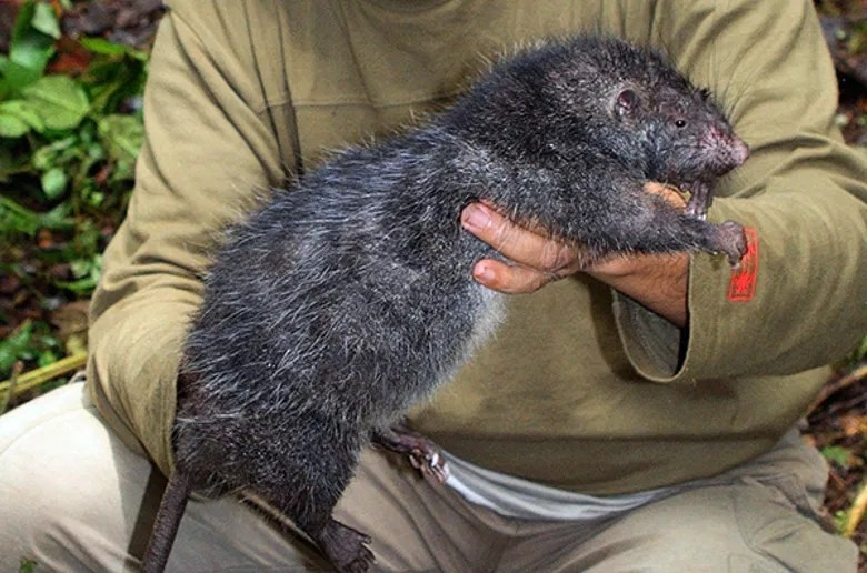 Топ 10 самых больших крыс в мире