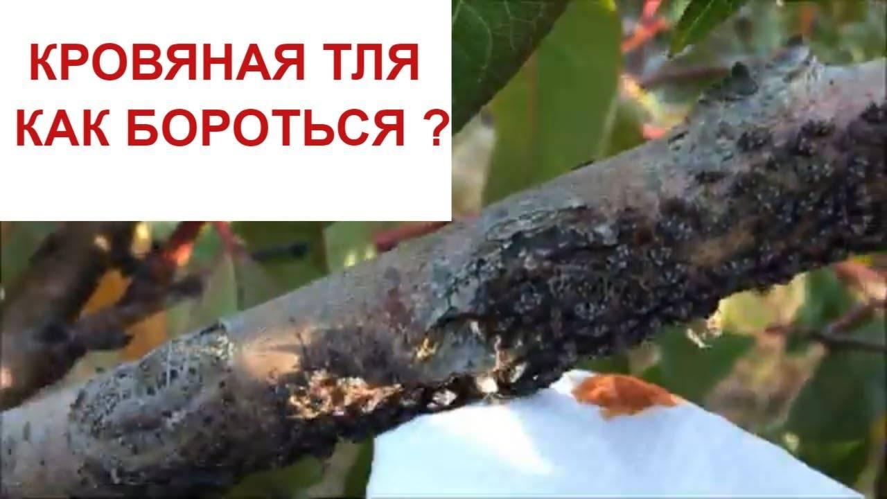 На персике тля — что делать?