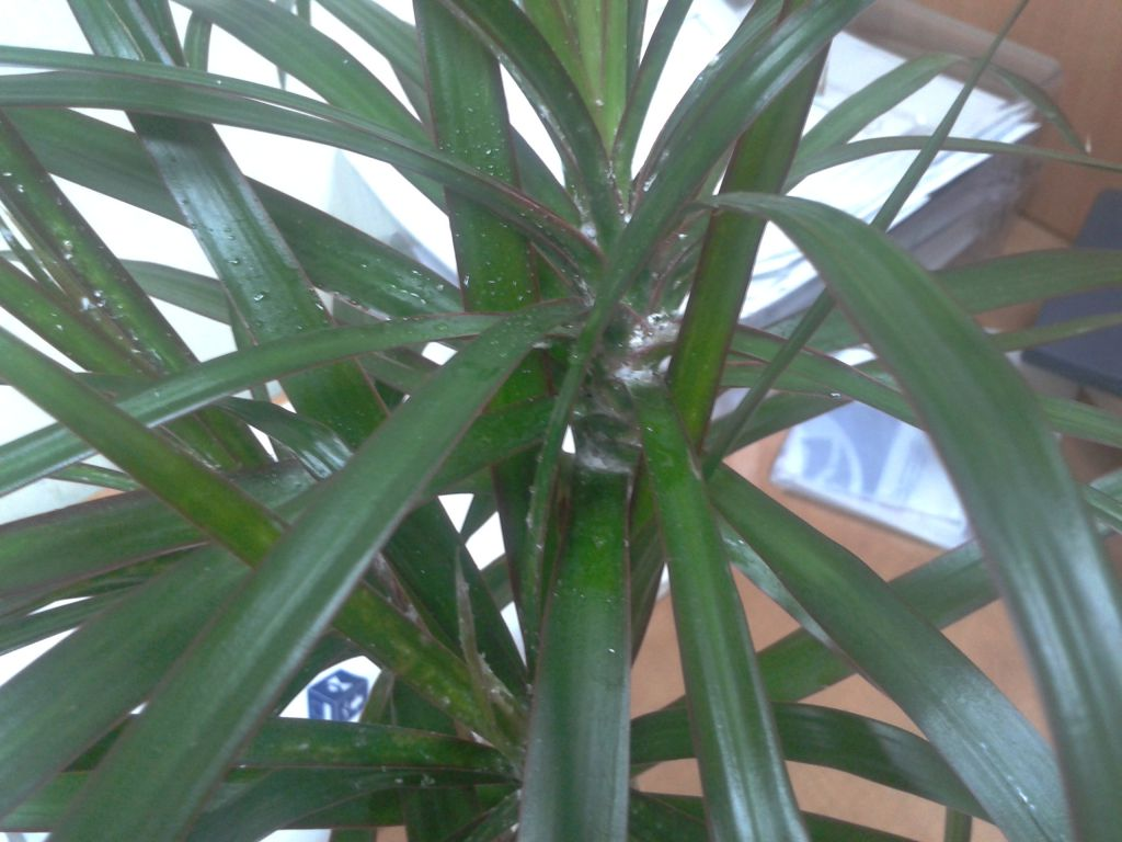 Мучнистый червец - как бороться на комнатных растениях. признаки поражения.