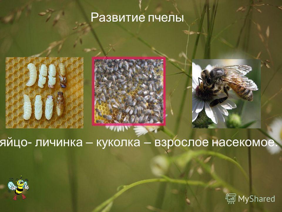 Сколько живет пчела: матка, трутень, рабочая и цикл жизни