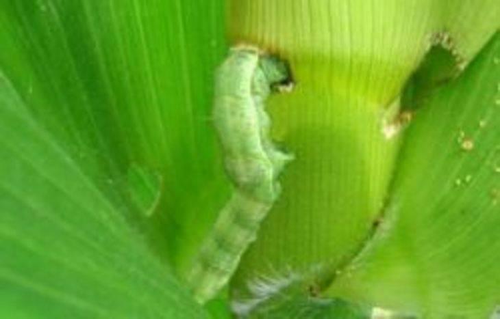 Луговой мотылек – бабочка невзрачной наружности с огромным вредоносным потенциалом