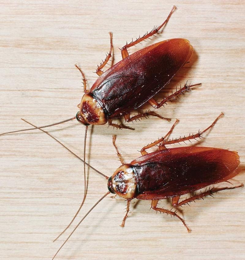 Виды и разновидности домашних тараканов, как выглядят