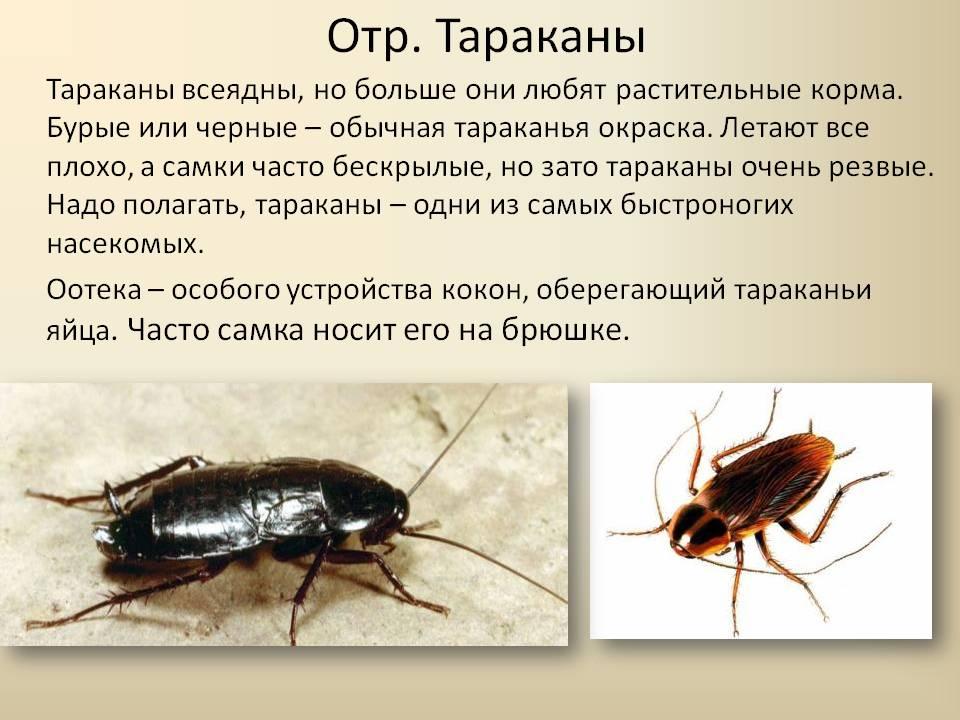 Насекомые тараканы: внешнее и внутренне строение, особенности ротового аппарата, органов зрения и крыльев