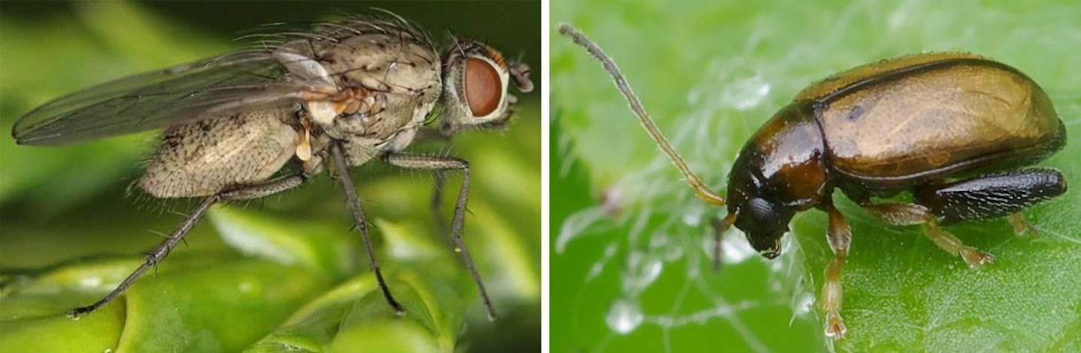 От капустной мухи нужно избавляться и способы есть
