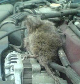 Как поймать мышь в частном доме или гараже?избавляемся от грызунов за один день. максимум неделю.