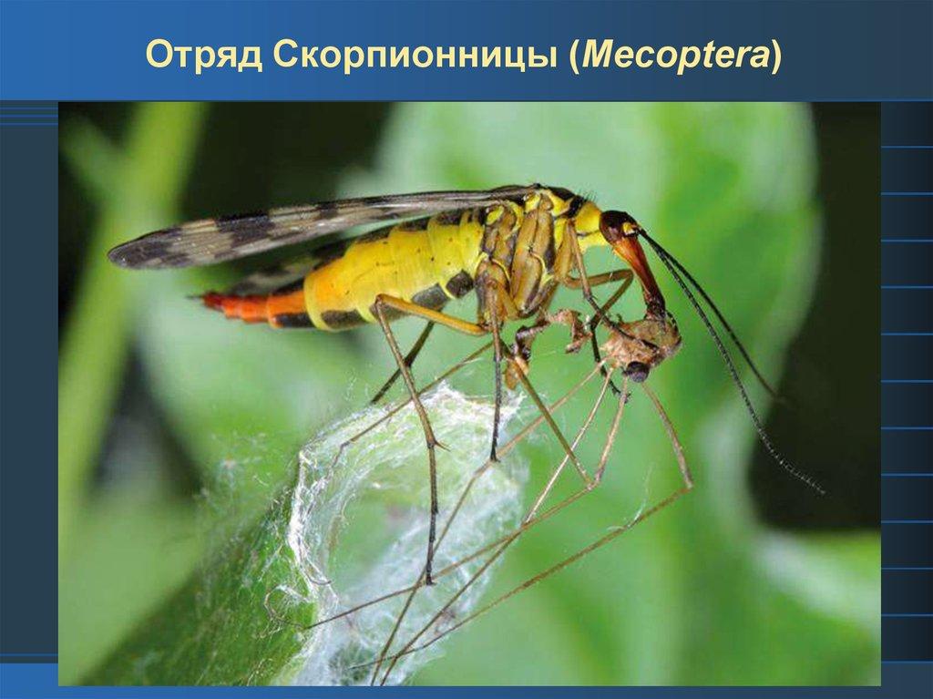 Скорпионница обыкновенная   мир животных и растений