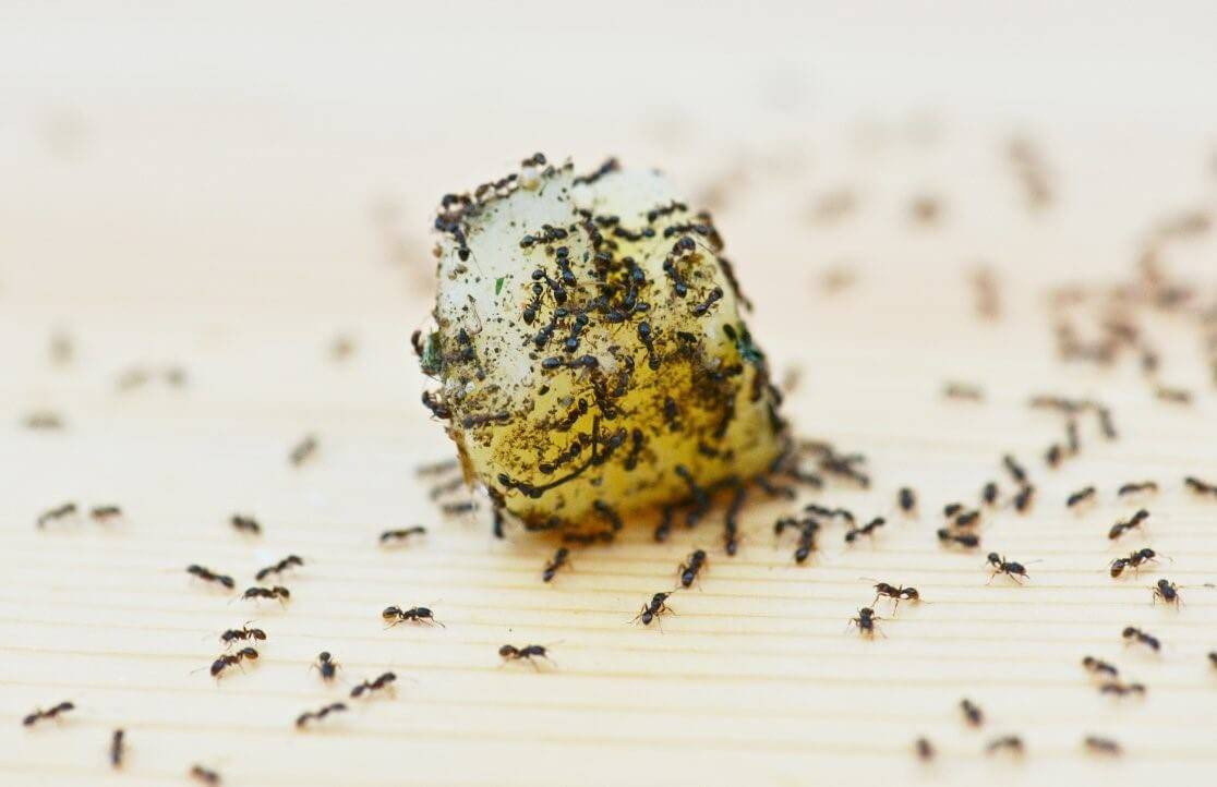 Как бороться с желтыми муравьями в квартире: химические препараты, народные методы и профилактические меры
