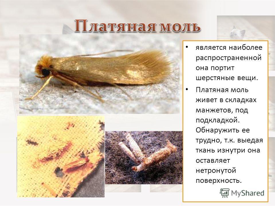 Разновидность моли - как отличить от мотылька и других насекомых