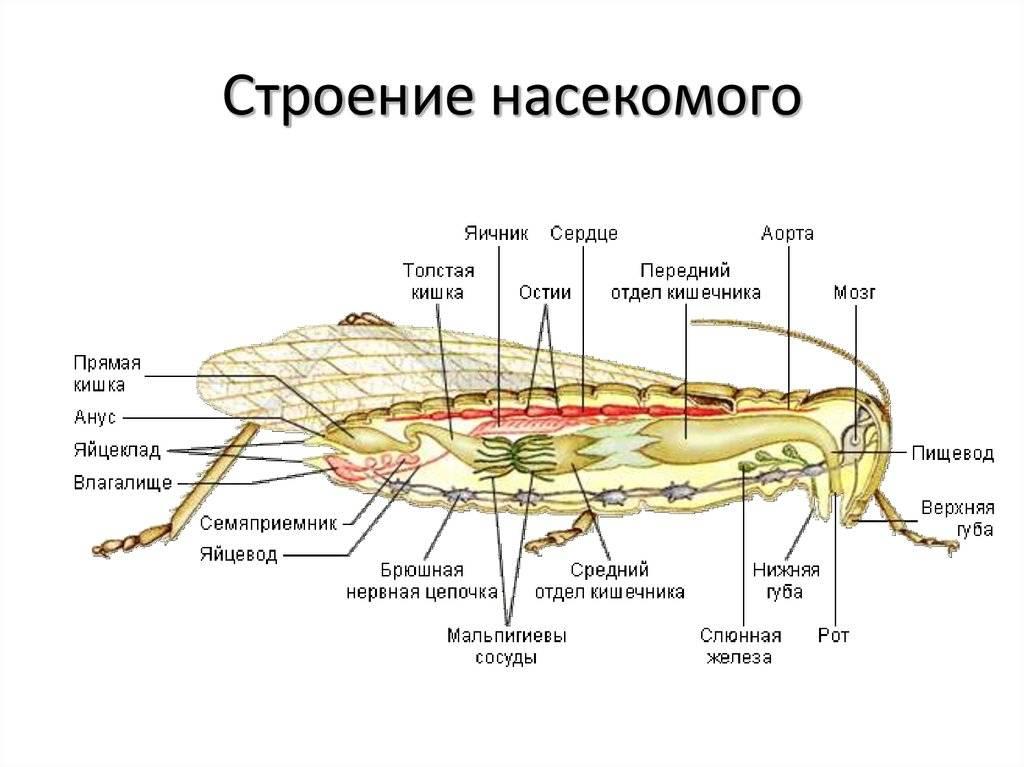 Описание ос: внешний вид, разновидности и их особенности, сколько живет оса