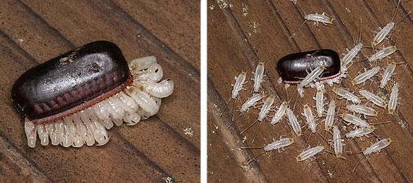 Как выглядят яйца тараканов, сколько выупляется тараканов из одного яйца?