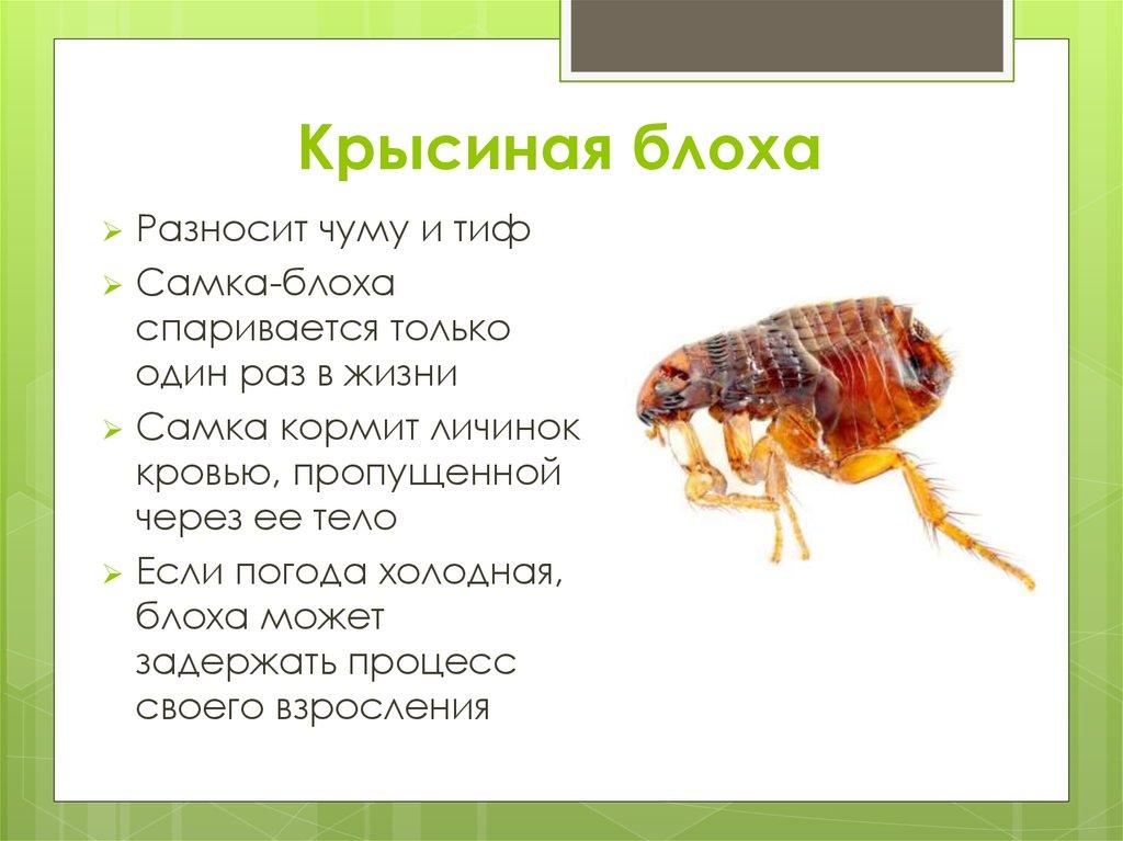 Укусы домашних блох на человеке. укусы крысиных блох. как долго проходят покраснения на теле.
