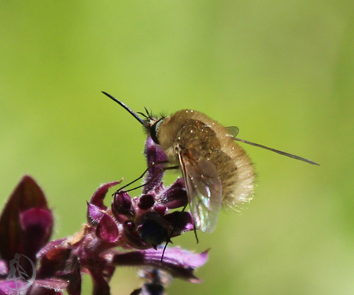 Особенности жуков навозников: распространённые виды и жизненный цикл насекомых