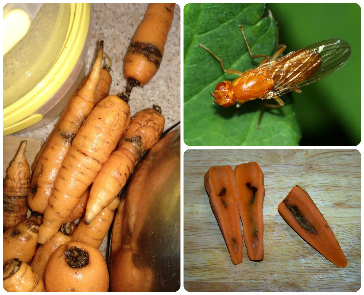 Морковная муха как с ней бороться: народные средства, чем полить, чем обработать