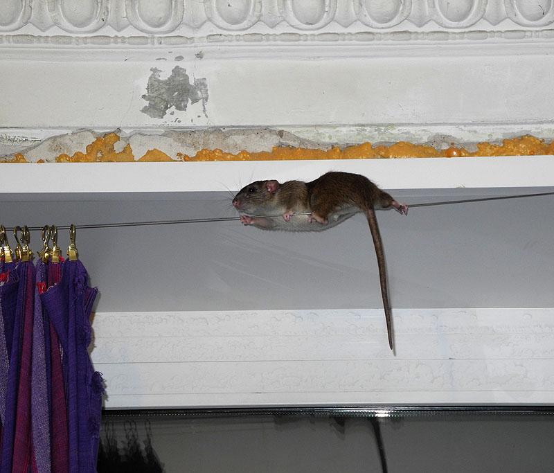 Как избавиться от мышей на натяжном потолке: химические средства и механические ловушки