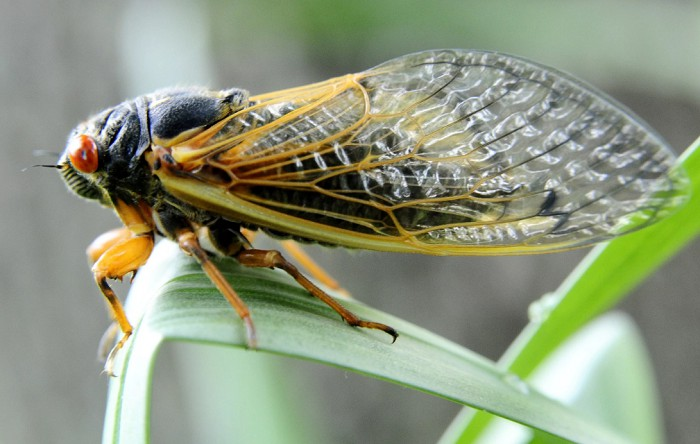Чем отличаются сверчки и цикады