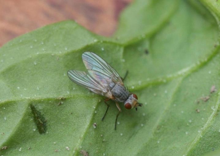 Как бороться с капустной мухой в огороде