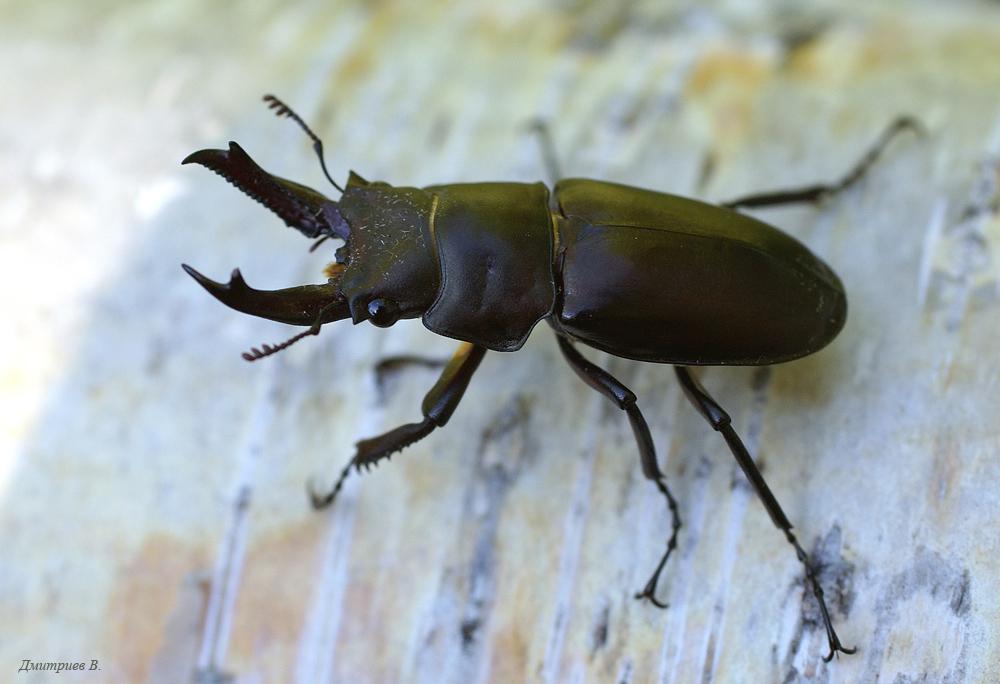 Красотел пахучий: фото жука, причины исчезновения
