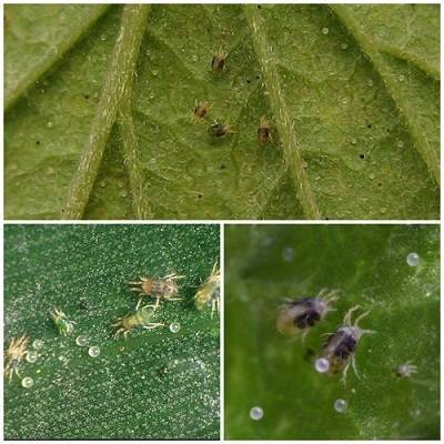 На рассаде перца появилась тля и другие насекомые: чем обработать в домашних условиях