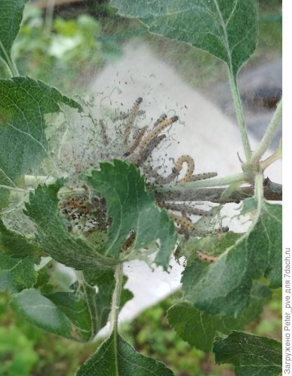 Гусеницы на сосне — как бороться и чем обрабатывать деревья? советы по удалению вредителей (95 фото)