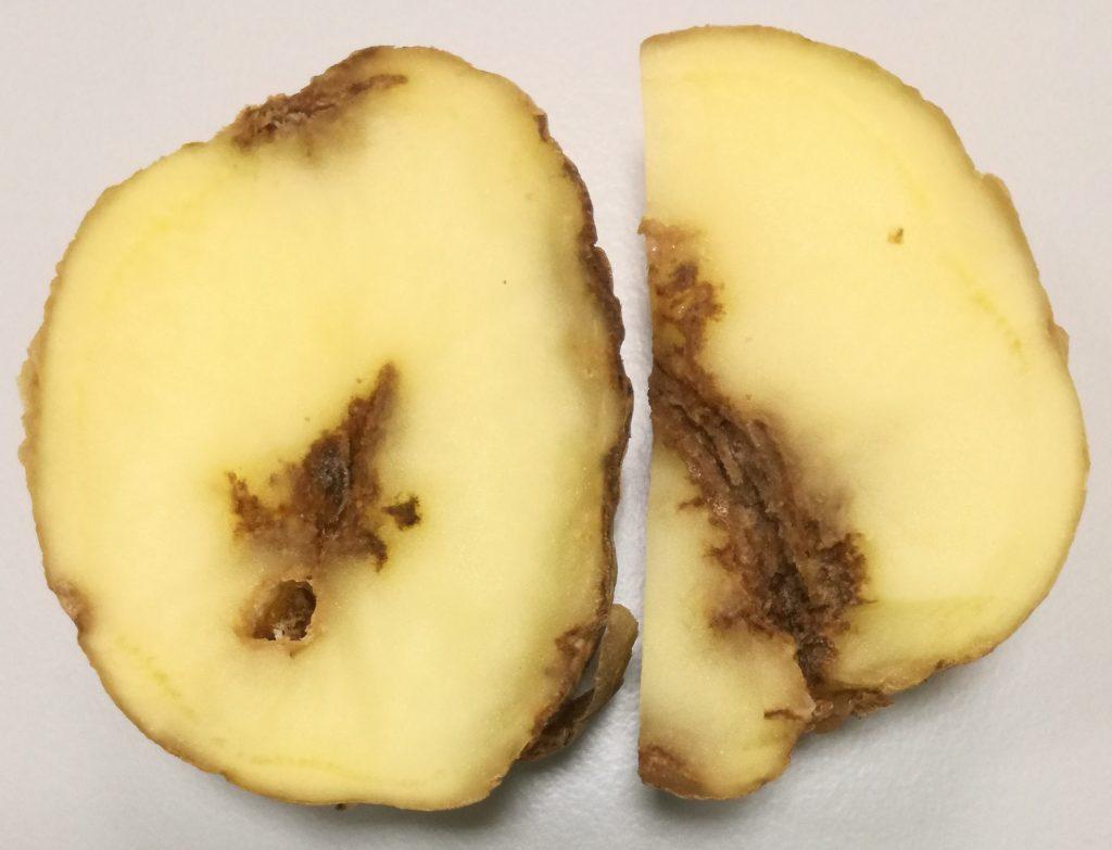 Как бороться с картофельной нематодой в огороде?