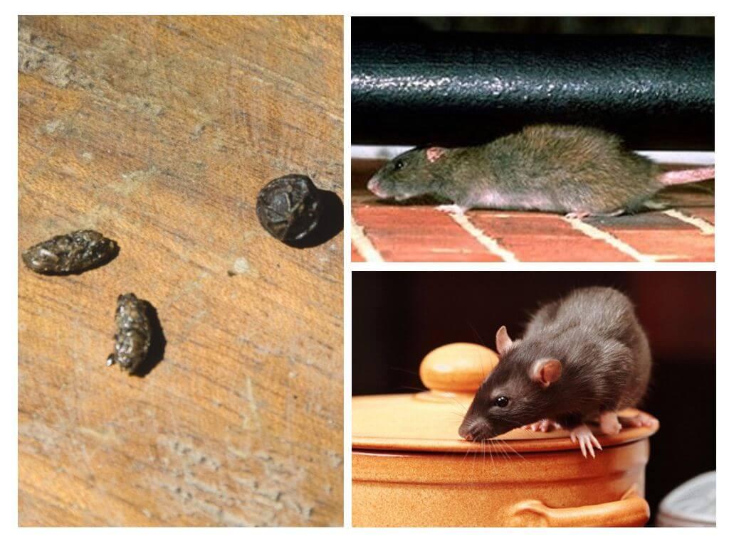 Борьба с крысами в сарае и гараже химией и народными средствами - способы и советы