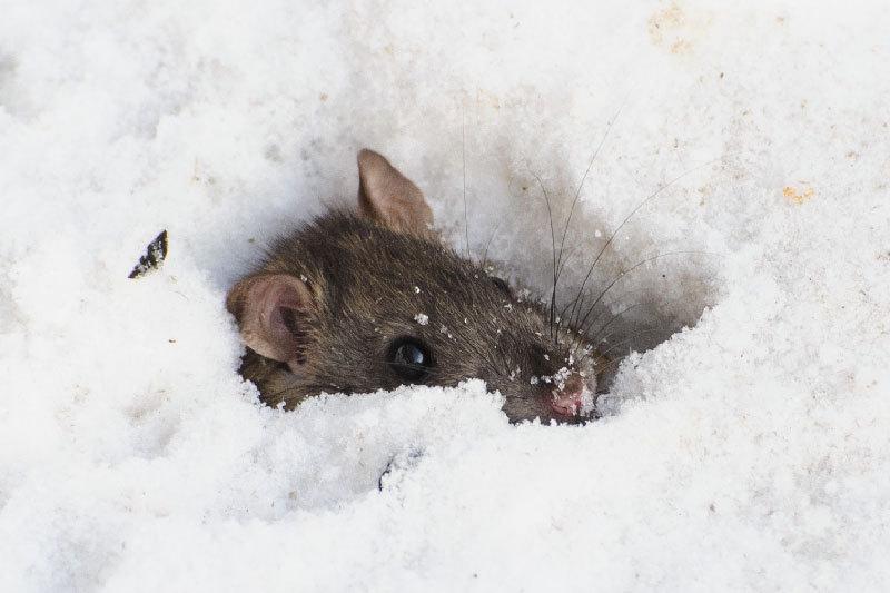 Полевка: полевые мыши, как зимуют и чем защитить урожай от грызунов, описание и фото русский фермер