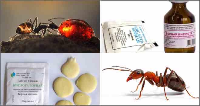 Борная кислота от муравьев в квартире и доме (от рыжих и не только): как действует средство, а также рецепты жидкой приманки, отравы-шарика, смеси с яйцом и другие русский фермер