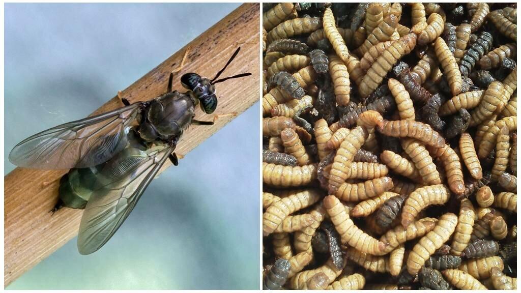 Домашняя (комнатная) муха: описание