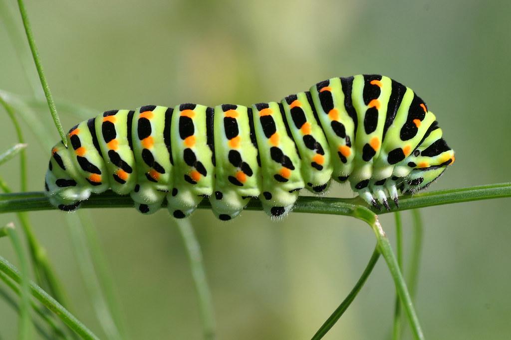 Виды гусениц с фото и названиями: описание видов