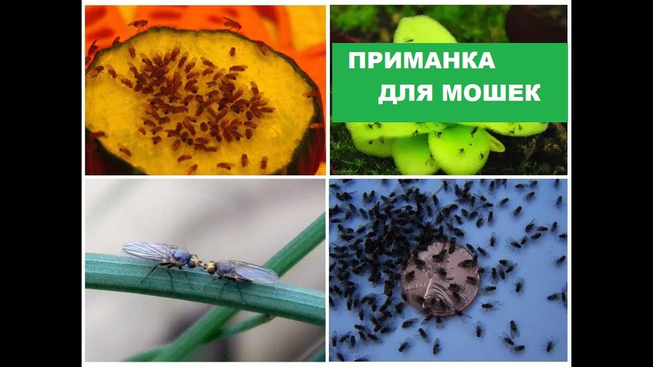 Как на кухне избавиться от мошек дрозофил народными средствами