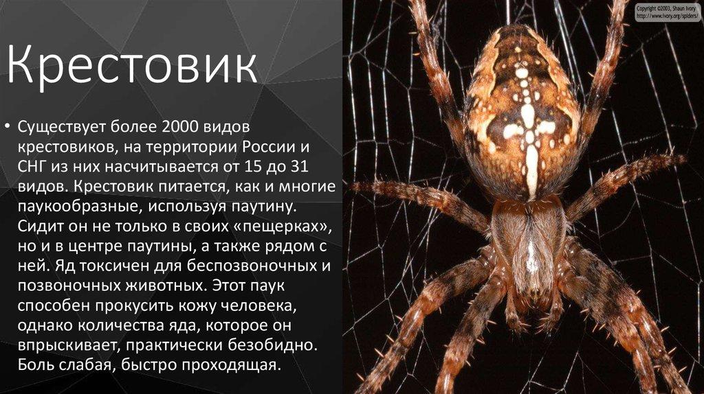 Паук-крестовик: как выглядит и сколько живёт, опасен ли укус для человека