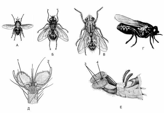 Строение мухи: вес, количество лап, крылья и прочее
