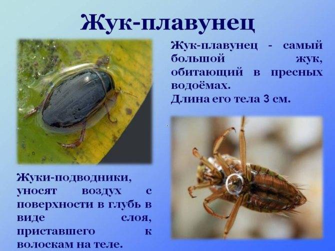 Сколько живет жук плавунец