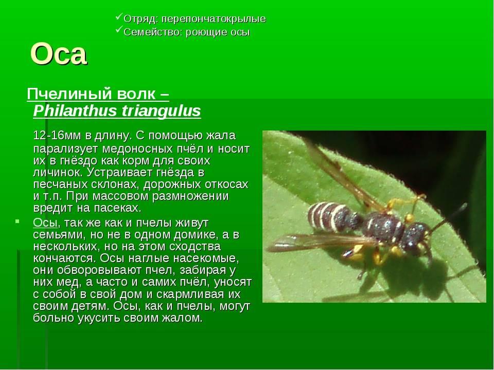 Чем питаются осы, и какую еду ищут на наших участках?