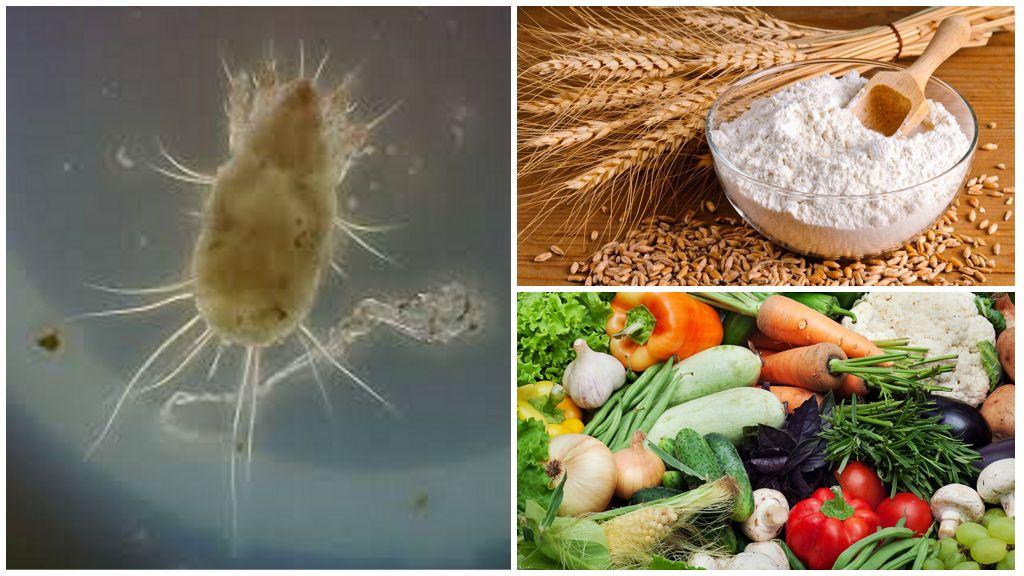 Мучной клещ зерновой вредитель: методы борьбы и меры профилактики