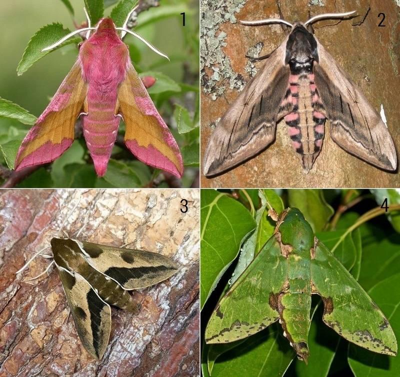 Табачный бражник – особенности размножения и содержания экзотического насекомого