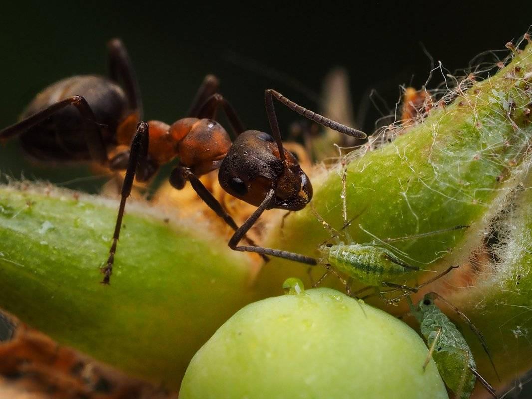 Тля и муравьи — как с ними бороться?. фото — ботаничка.ru