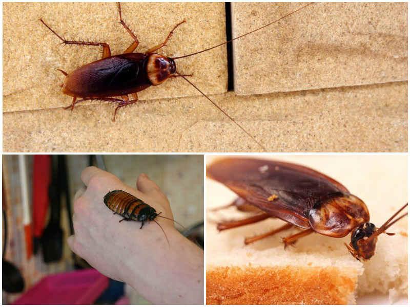 Сколько живут тараканы без еды и воды?