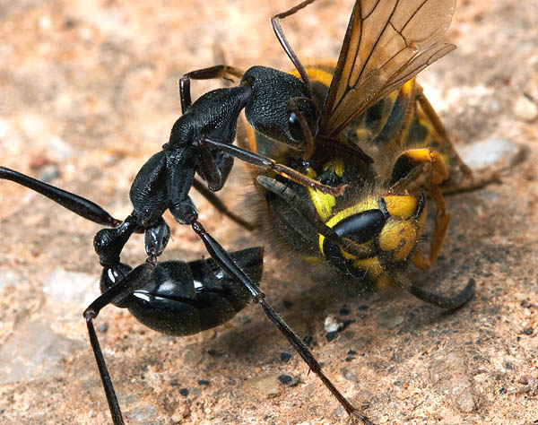 Виды муравьев — строение и описание