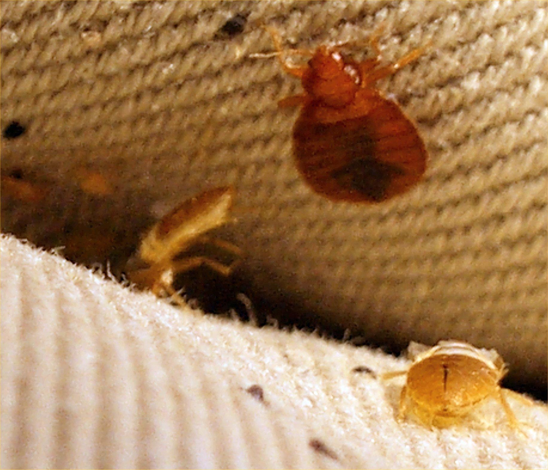 ❶ как выглядят бельевые клопы и как избавиться от них в домашних условиях