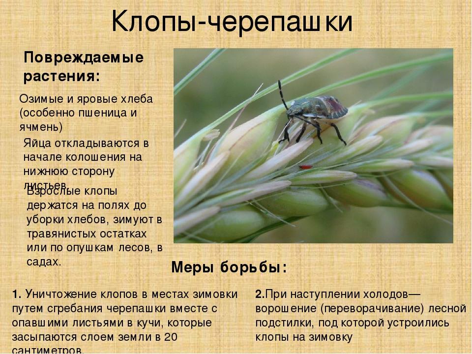 Клоп вредная черепашка: к какому отряду относиться, вред и борьба с ними, фото и видео русский фермер