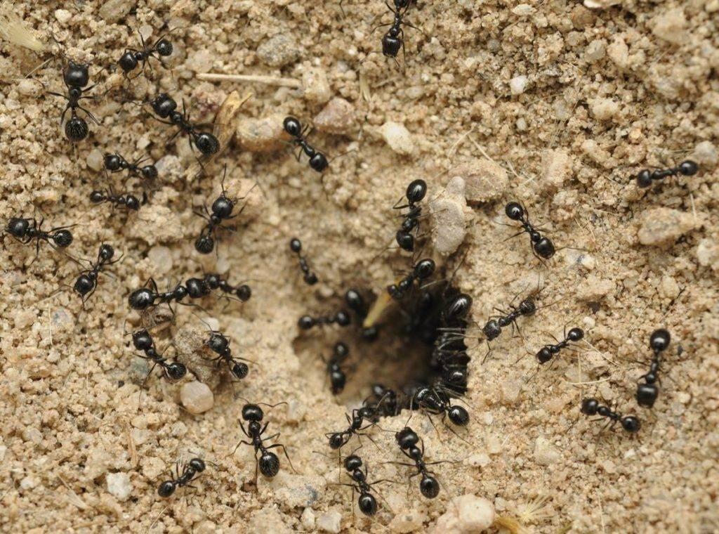 Виды муравьев живущих на участках и проникающие в деревянный дом, как с ними бороться