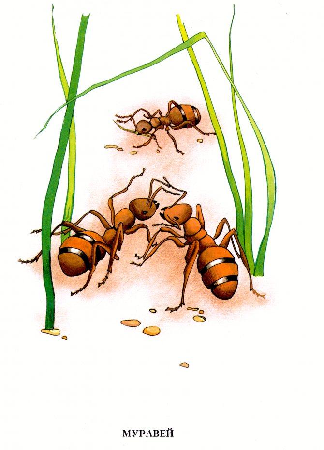 Сколько ног у муравья