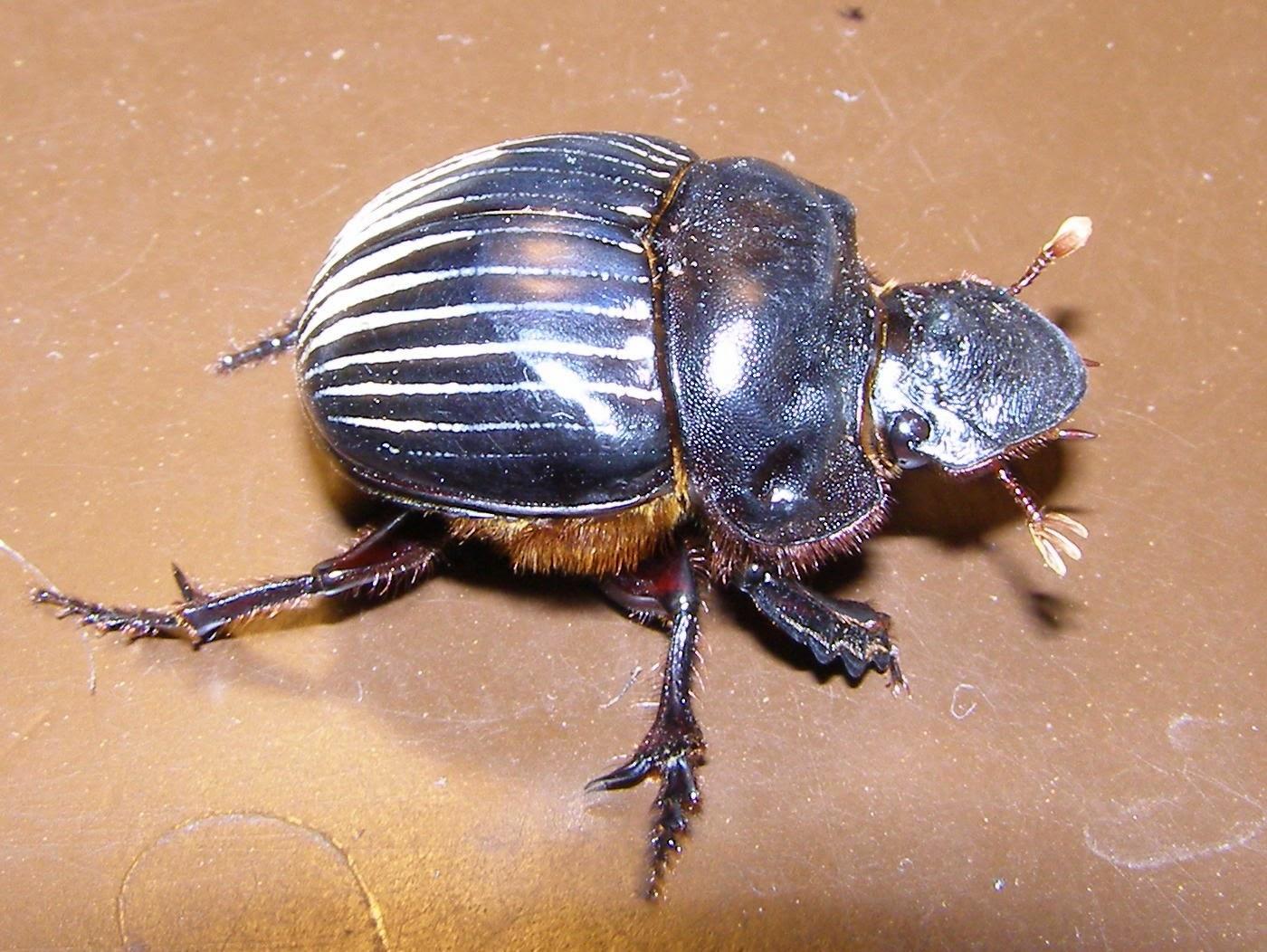 Жук навозник: фото и интересные факты про насекомого
