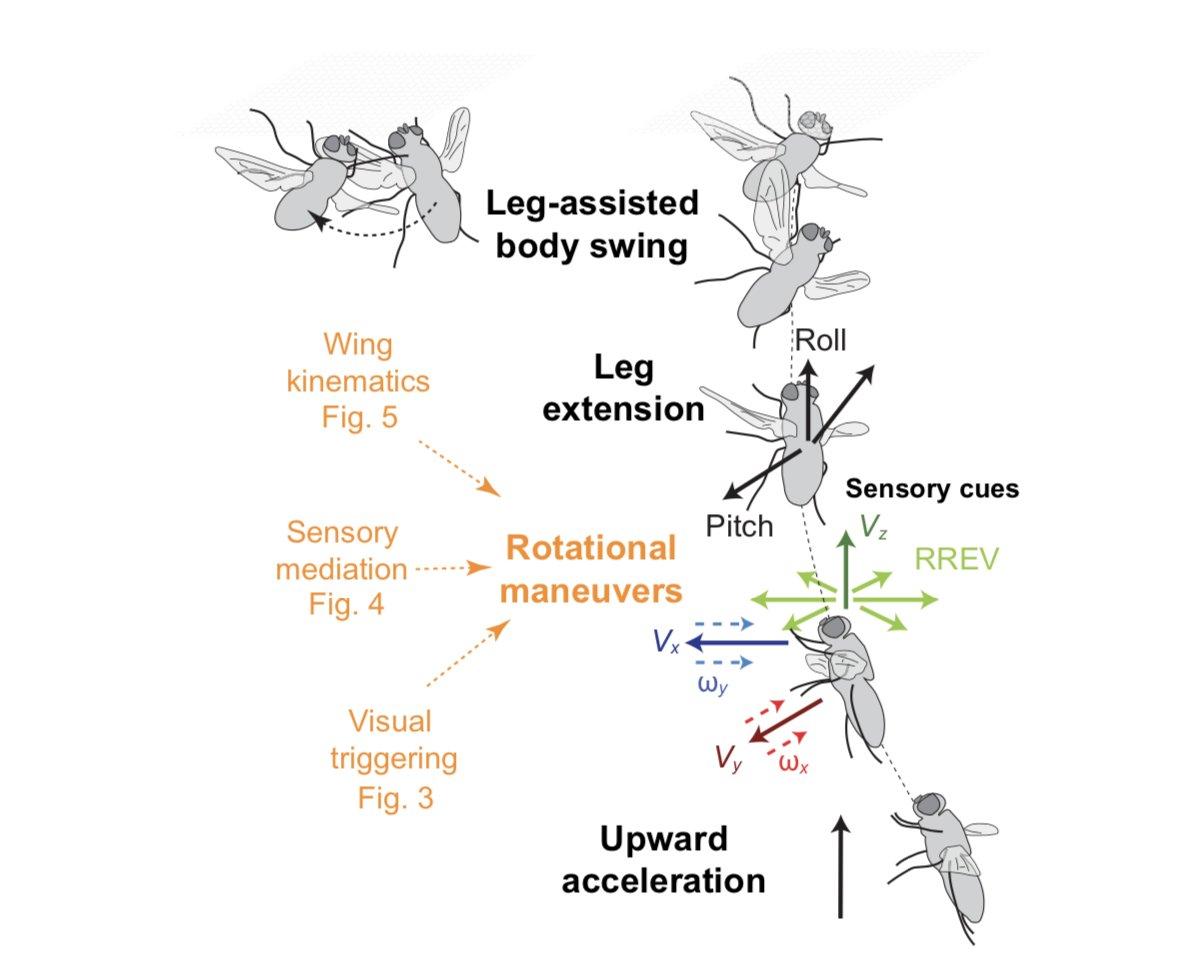 Как муха садится и держится на потолок. как муха держится на потолке? почему муха держится на потолке